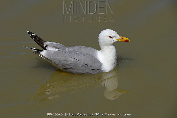 Yellow-legged Gull (Larus michahellis) swimming, Camargue, France, May  -  Loic Poidevin/ NPL