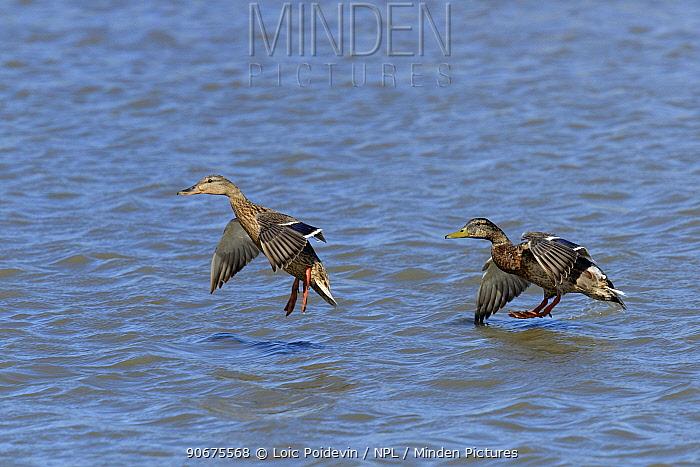 Mallard (Anas platyrhynchos) male and female taking off, Camargue, France, May  -  Loic Poidevin/ NPL