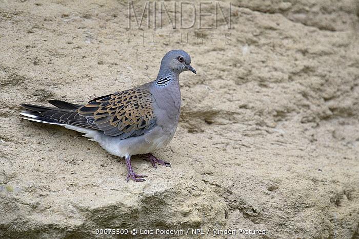 European Turtle Dove (Streptopelia turtur) on wall, Vendee France, may  -  Loic Poidevin/ NPL