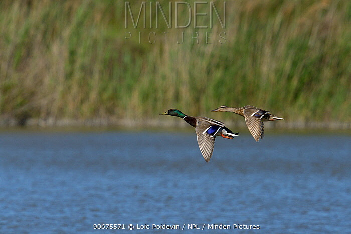 Mallard (Anas platyrhynchos) male and female in flight, Camargue, France, May  -  Loic Poidevin/ NPL