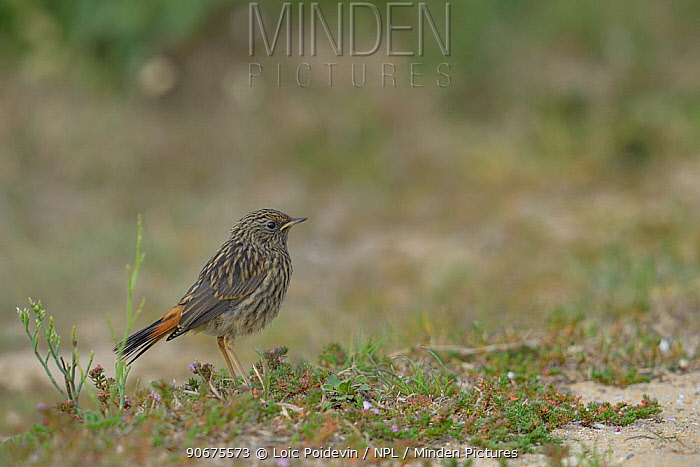 Bluethroat (Luscinia svecica) young on ground, Vendee, France, June  -  Loic Poidevin/ NPL