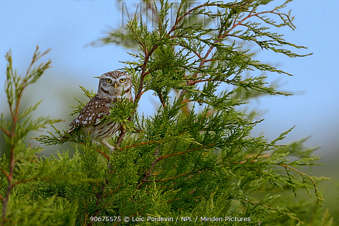 Little owl (Athene noctua) on a branch, Breton Marsh, France  -  Loic Poidevin/ NPL