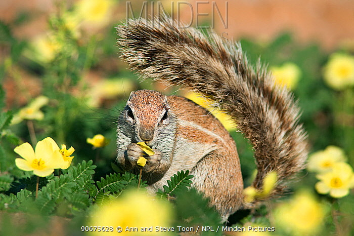 Ground squirrel (Xerus inauris) feeding in Devils thorn flowers (Tribulus terrestris) Kgalagadi Transfrontier Park, Northern Cape, South Africa  -  Ann & Steve Toon/ npl