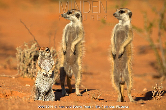 Meerkats (Suricata suricatta), sharing burrow with ground squirrel (Xerus inauris) Kgalagadi Transfrontier Park, Northern Cape, South Africa, non-ex  -  Ann & Steve Toon/ npl