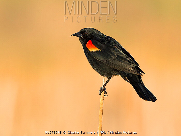 Male Red-winged blackbird (Agelaius phoeniceus) Red-tailed Park, Aurora, Colorado, USA June  -  Charlie Summers/ npl