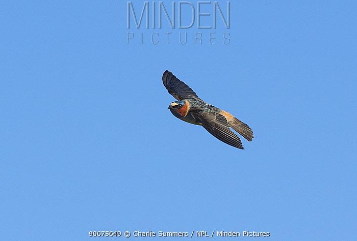 Cliff Swallow (Petrochelidon pyrrhonota) banking in flight Aurora, Colorado, USA May  -  Charlie Summers/ npl