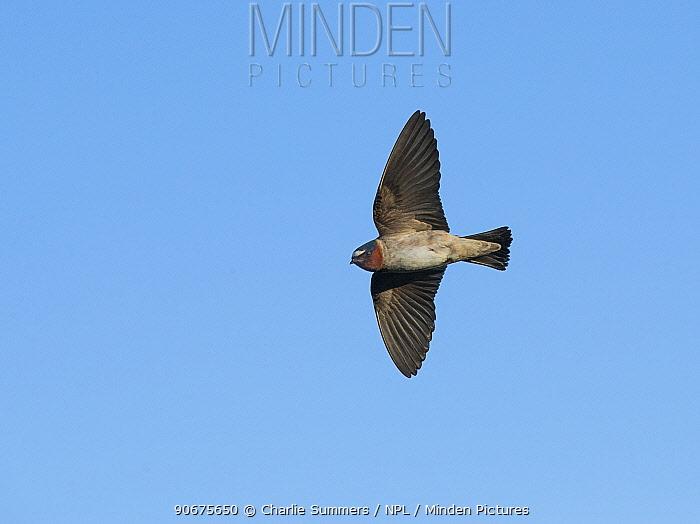 Cliff Swallow (Petrochelidon pyrrhonota) Aurora Parkway, Aurora, Colorado, USA May  -  Charlie Summers/ npl