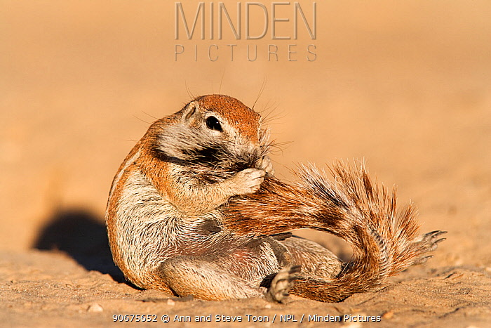Ground squirrel (Xerus inauris) cleaning itss tail, Kgalagadi Transfrontier Park, Northern Cape, South Africa, non-ex  -  Ann & Steve Toon/ npl