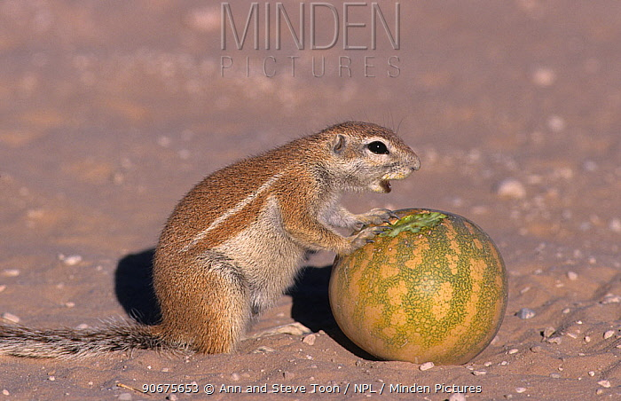 Ground squirrel (Xerus inauris) eating Tsamma melon, Kgalagadi Transfrontier Park, South Africa, non-ex  -  Ann & Steve Toon/ npl