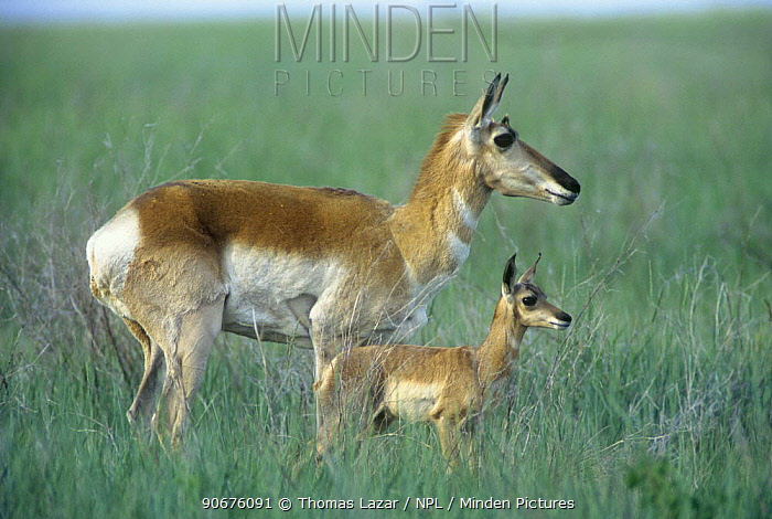 Pronghorn antelope (Antilocapra americana) with young, Badlands NP, South Dakota, USA, endangered species  -  Thomas Lazar/ npl