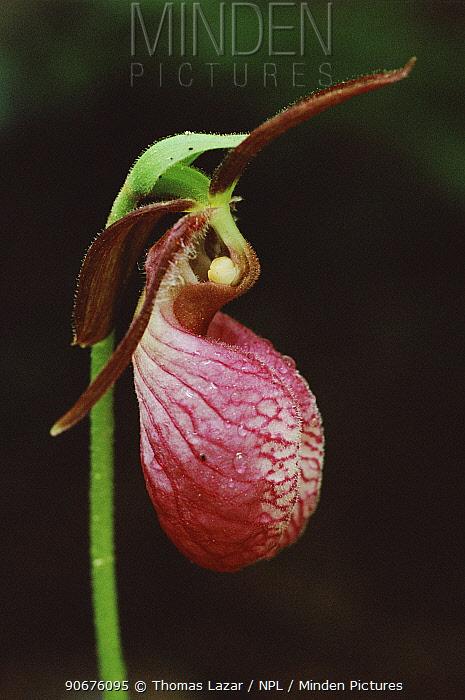 Pink lady's slipper orchid (Cypridium acaule) Michigan, USA  -  Thomas Lazar/ npl