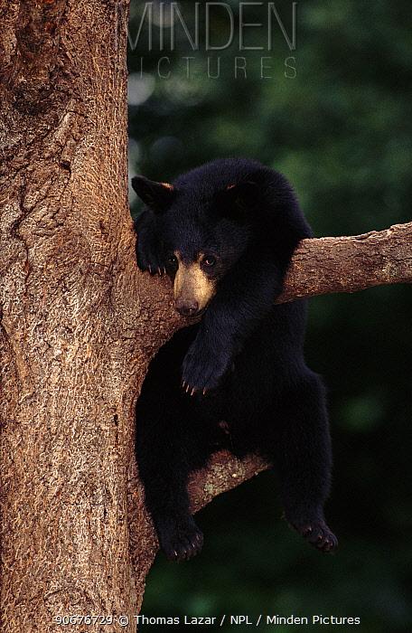 Black bear juvenile in tree (Ursus americanus) Minnesota, USA  -  Thomas Lazar/ npl