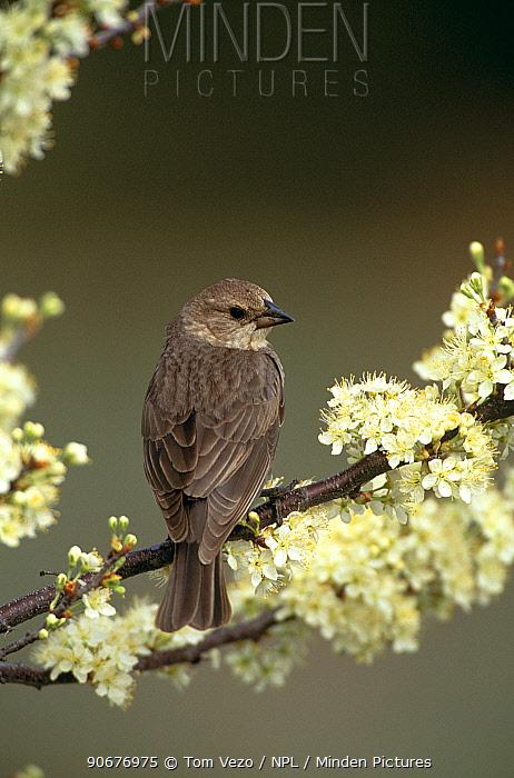 Brown headed cowbird female (Molothrus ater) Long Island, NY USA  -  Tom Vezo/ npl