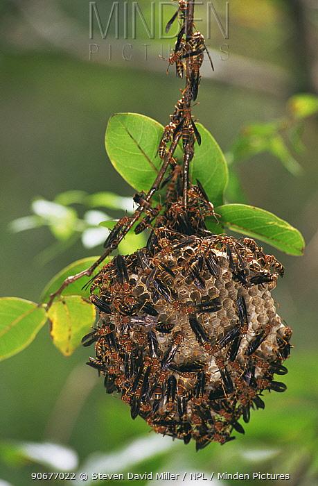 Paper wasp (Polistes sp) females on nest, Florida, USA  -  Steven David Miller/ npl