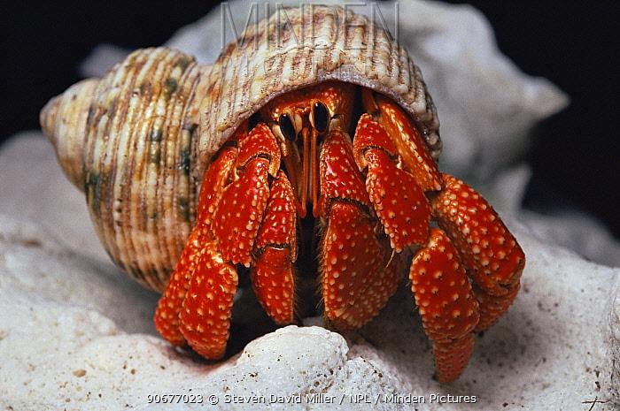 Hermit crab, Lady Elliot Is, Australia  -  Steven David Miller/ npl