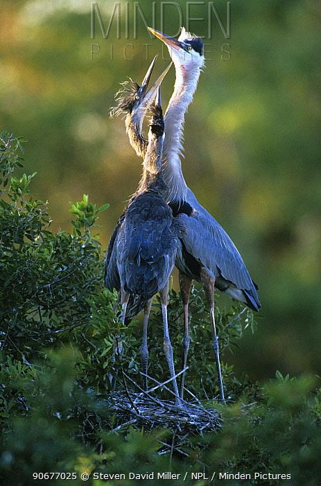 Great blue heron (Ardea herodias) with begging chicks at nest, Venice Rookery, Florida  -  Steven David Miller/ npl