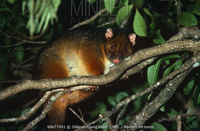 Common Ringtail Possum (Pseudocheirus peregrinus) in tree, Lamington National Park, Queensland, Australia  -  Steven David Miller/ npl