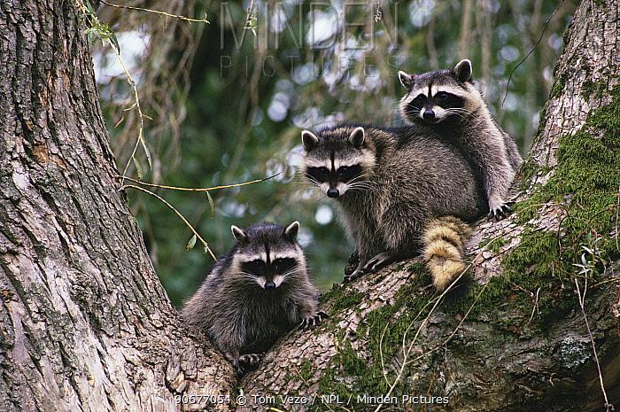 Raccoons in tree (Procyon lotor) Vancouver, BC, Canada  -  Tom Vezo/ npl