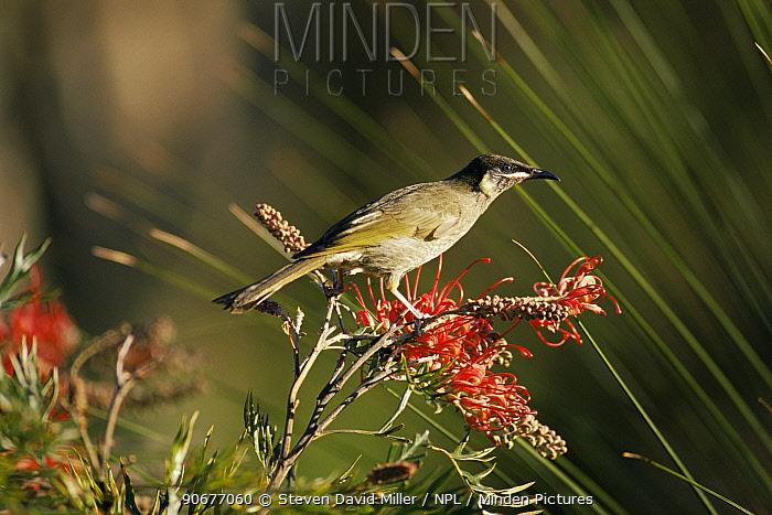 Lewin honeyeater (Meliphaga lewinii) Lamington, Queensland, Australia  -  Steven David Miller/ npl