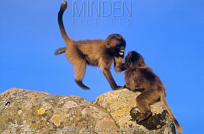 Gelada baboon (Theropithecus gelada) juveniles playing on rocks, Simien Mountains NP, Ethiopia  -  Ingo Arndt/ npl