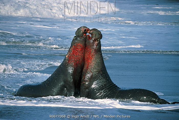 Northern elephant seal males fighting, California, USA (Mirounga angustirostris) California, USA  -  Ingo Arndt/ npl