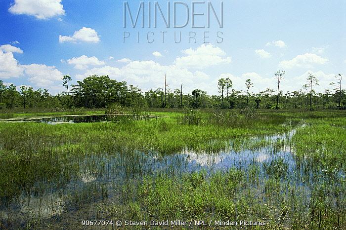 Swampland at Big Cypress Basin, Everglades NP, Florida, USA  -  Steven David Miller/ npl