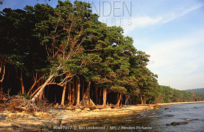 Littoral tropical rainforest of Havelock Island, Andaman Islands, Indian Ocean  -  Ian Lockwood/ npl