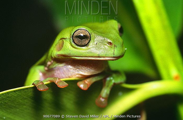 Green treefrog portrait (Litoria caerulea), Point Douglas, Queensland, Australia  -  Steven David Miller/ npl
