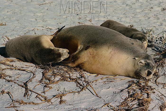 Australian fur seal (Arctocephalus pusillus doriferus) mother with suckling pups, Kangaroo Is, Australia  -  Steven David Miller/ npl