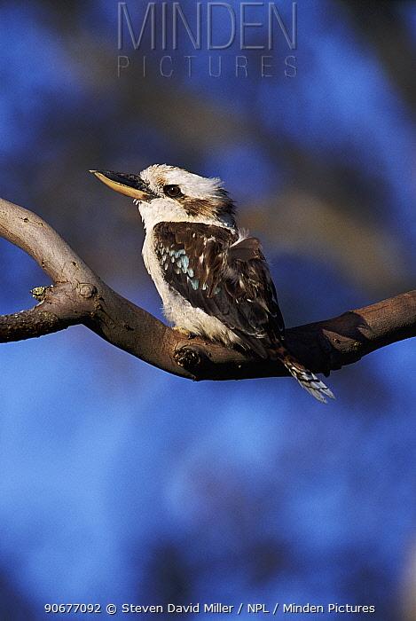 Laughing kookaburra (Dacelo novaeguineae) Grampians NP, Victoria, Australia  -  Steven David Miller/ npl