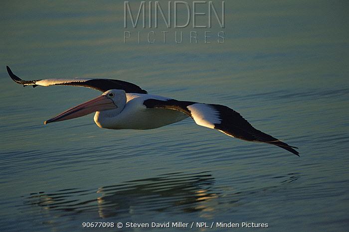 Australian pelican (Pelecanus conspicillatus) flying close to the water at Monkey Mia in Shark Bay, Western Australia  -  Steven David Miller/ npl