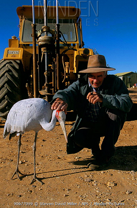 Pet Brolga crane (Grus rubicunda) with owner and tractor South Australia  -  Steven David Miller/ npl