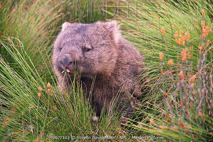 Common wombat foraging (Vombatus ursinus), Cradle Valley NP, Tasmania, Australia  -  Steven David Miller/ npl