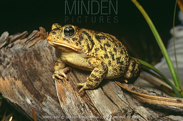 Southern toad portrait (Bufo terrestris) Naples, South West Florida, USA  -  Steven David Miller/ npl
