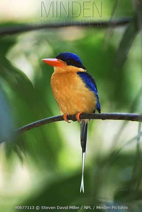 Buff breasted kingfisher, White tailed kingfisher (Tanysiptera sylvia) Australia  -  Steven David Miller/ npl