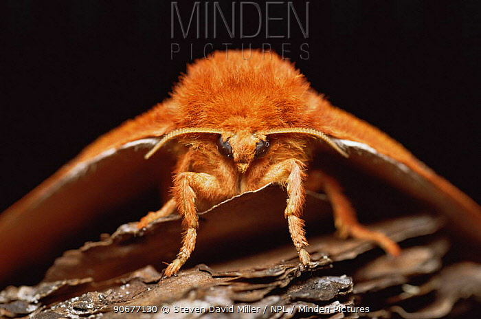 Io moth (Automeris io) Florida, USA  -  Steven David Miller/ npl