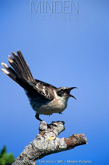 Galapagos mockingbird calling (Nesomimus trifasciatus) Tower Islands, Galapagos  -  Tom Vezo/ npl