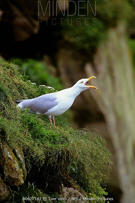Herring gull calling (Larus argentatus) Newfoundland, Canada  -  Tom Vezo/ npl