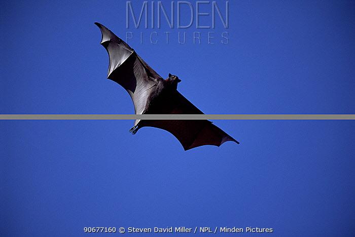 Central flying fox in flight (Pteropus alecto) Northern Territory, Australia  -  Steven David Miller/ npl