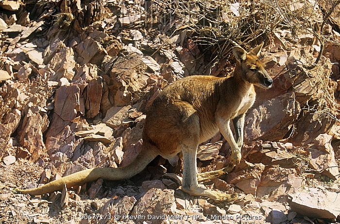 Wallaroo, Euro (Macropus robustus woodwardi) camouflaged against rocks, Lake Argyle, Kimberley, Western Australia  -  Steven David Miller/ npl