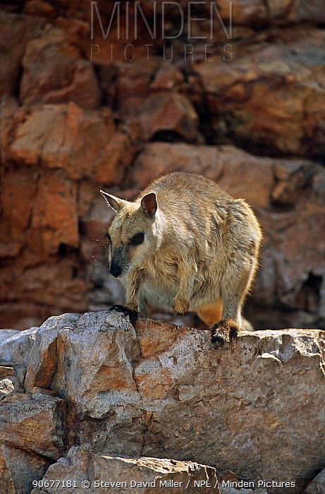 Short eared rock wallaby (Petrogale brachyotis brachotis) Kimberley, Western Australia  -  Steven David Miller/ npl