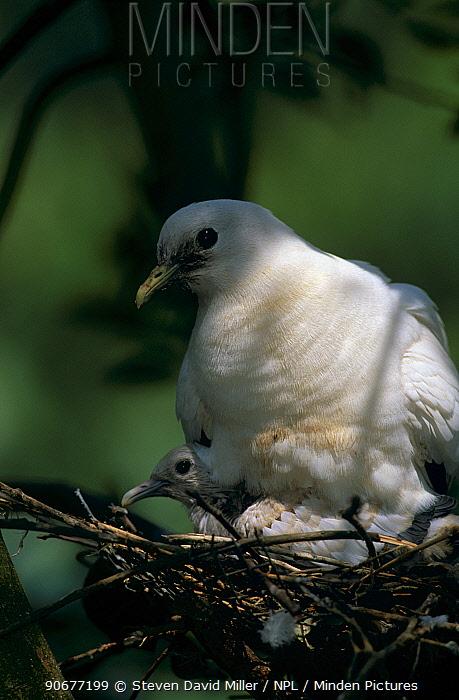 Torresian imperial pigeon on nest with chick (Ducula spilorrhoa) Queensland Australia  -  Steven David Miller/ npl