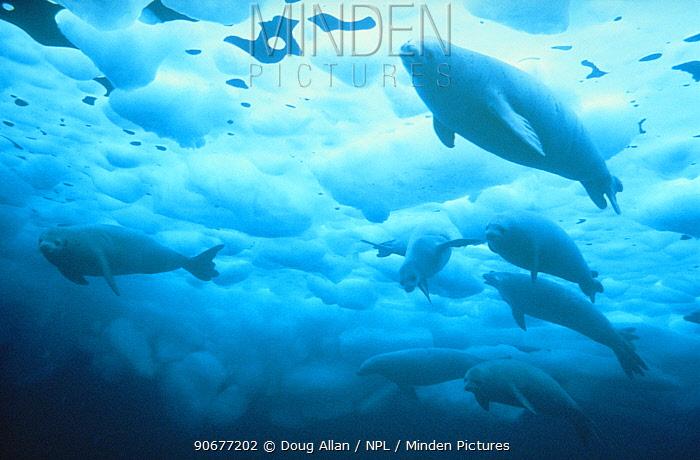 Crabeater seals under ice (Lobodon carcinaphagus) Antarctica  -  Doug Allan/ npl