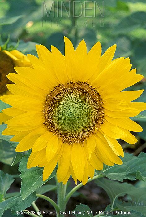 Sunflower (Helianthus annuus) Florida, USA  -  Steven David Miller/ npl