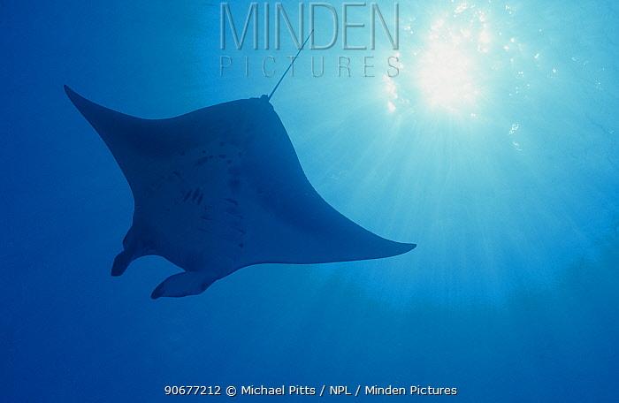 Pacific manta ray (Manta alfredi), Yap, Micronesia  -  Michael Pitts/ npl
