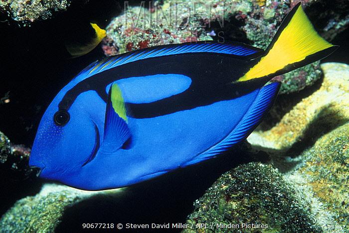 Palette surgeonfish profile (Paracanthurus hepatus) Great Barrier Reef, Australia  -  Steven David Miller/ npl