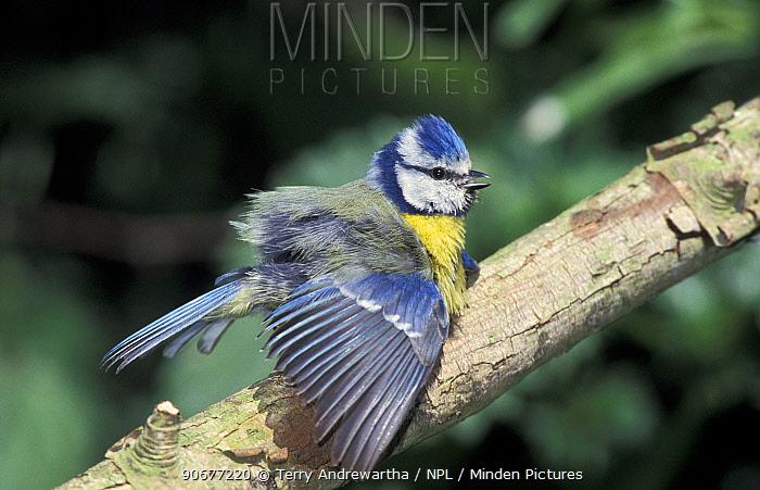 Blue tit sunning itself on branch (Parus caeruleus) Norfolk, UK  -  Terry Andrewartha/ npl