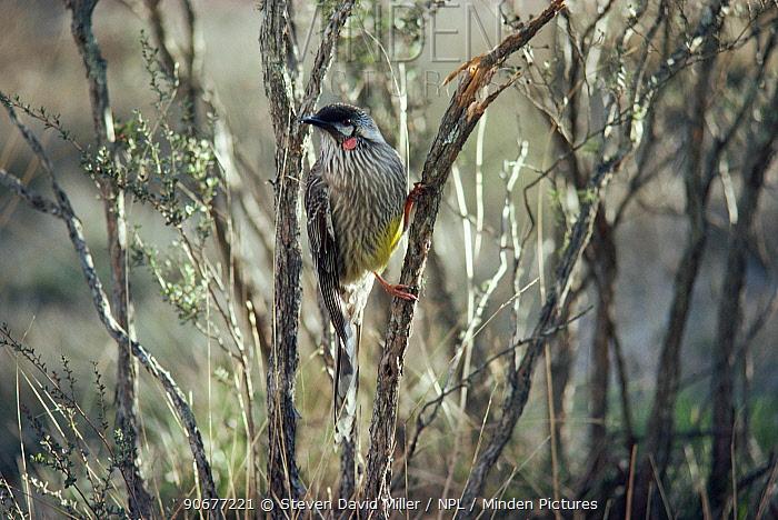 Red wattlebird (Anthochaera carunculata) Yanchep NP, Western Australia  -  Steven David Miller/ npl