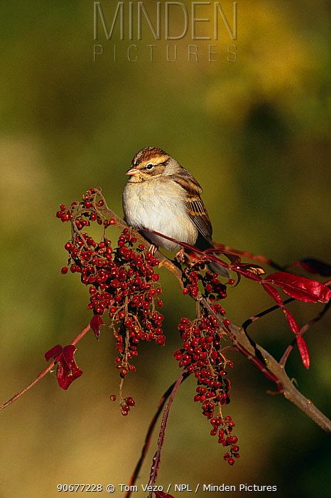 Field sparrow (Spizella pusilla) Long Is, NY, USA  -  Tom Vezo/ npl
