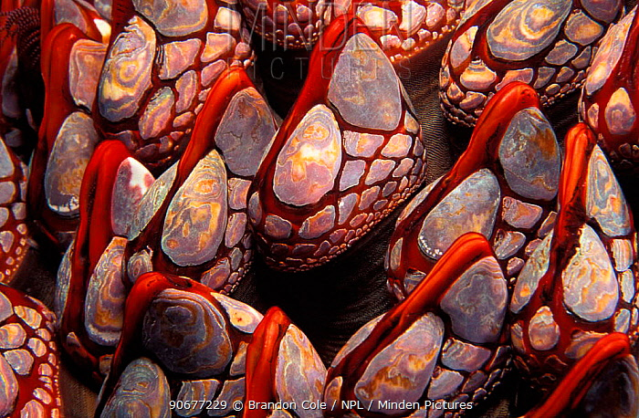 Close up of Goose barnacles (Pollicipes polymerus) British Columbia, Canada, Pacific North West NOT FOR SALE IN USA  -  Brandon Cole/ npl